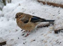 Bullfinch auf meiner Vogelzufuhr lizenzfreies stockfoto
