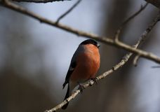 Bullfinch Stock Images