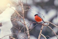 Bullfinch on the birch tree branch. Royalty Free Stock Photography