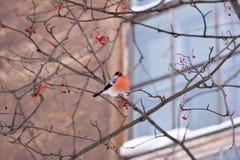 Bullfinch bird Royalty Free Stock Photography