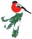 Bullfinch bird. Vector image of a bullfinch on a snowy spruce branch stock illustration