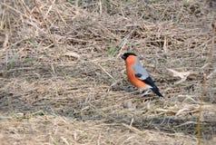 Bullfinch bird Stock Photography