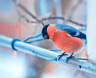 Bullfinch bird sitting on a branch Royalty Free Stock Photos