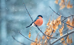 Bullfinch bird sitting on a branch Stock Photos