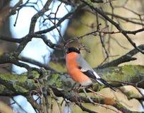 Bullfinch bird Royalty Free Stock Images
