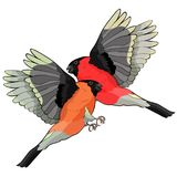 Bullfinch bird winter red belly. vector illustration Stock Photo