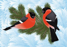 Bullfinch birds on fir tree branches Royalty Free Stock Images