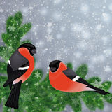 Bullfinch birds on fir tree branches. Illustration of bullfinch birds on fir tree branches with snowflake background Stock Photography