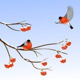 Bullfinch Birds on a Rowan Tree Branch in winter forest. Vector illustration stock illustration