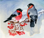 Bullfinch birds on snowy tree branch. Watercolor illustration Stock Images