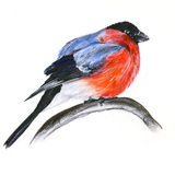 Bullfinch on a branch. Decorative illustration with bullfinch sitting on a branch stock illustration
