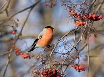 Bullfinch on the branch of mountain ash Stock Image