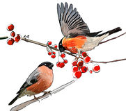 2 Bullfinch on the branch. Of mountain ash royalty free illustration