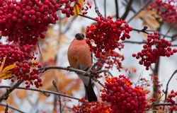 Bullfinch on a branch of mountain ash Stock Image