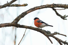 Bullfinch on branch Royalty Free Stock Photography