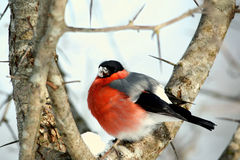 Bullfinch on a branch (Pyrrhula-pyrrhula) Stock Photo