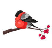 Bullfinch. On a branch of rowan isolated on white background Stock Photos