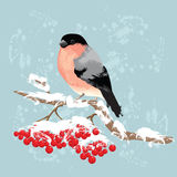 Bullfinch on branch of rowan tree. Stock Images