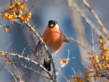 Bullfinch on the branch of Sea-buckthorn Stock Photo