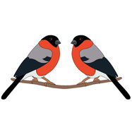 Bullfinch on branch. Two bullfinch sitting on a branch on a white background stock illustration