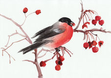 Bullfinch on a branch. Watercolor original painting of a Bullfinch on a branch. Asian style royalty free illustration