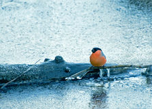 Bullfinch on chained ice river Stock Image