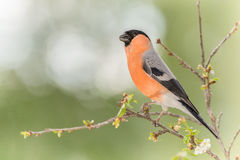 Bullfinch on cherry branch Royalty Free Stock Images
