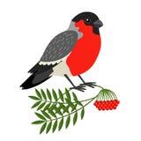 Bullfinch Christmas Bird Stock Images