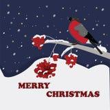 Bullfinch. Christmas Bullfinch on a branch of rowan Stock Images