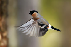 He bullfinch, common bullfinch or Eurasian bullfinch  Pyrrhula. Pyrrhula flying in forest with green background Stock Photo