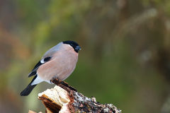 He bullfinch, common bullfinch or Eurasian bullfinch Pyrrhula. Pyrrhula sitting on the branch with green background royalty free stock photography