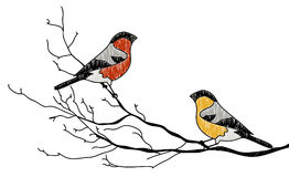 Bullfinch couple Royalty Free Stock Photo