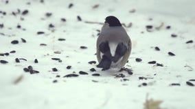 Bullfinch, das Samen isst stock video