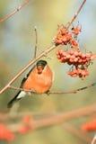Bullfinch de Miguel do Sao, pyrrhula do Pyrrhula Imagens de Stock Royalty Free