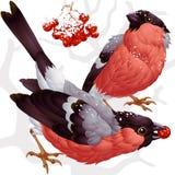 Bullfinch do vetor e ashberry ilustração do vetor