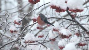 Bullfinch eat berries red rowan on the tree in snow stock video