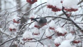 Bullfinch eat berries red rowan on the tree in snow stock footage