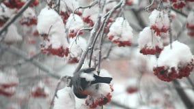 Bullfinch eat berries red rowan on the tree in snow stock video footage