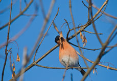 Bullfinch eating. The bullfinch sits on a branch and eats to a grain Royalty Free Stock Photography