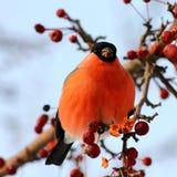 Bullfinch eating apples. Bullfinch sitting on tree branch eating frozen wild apples Stock Images