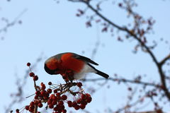 Bullfinch eating apples Royalty Free Stock Photography