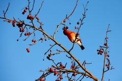 Bullfinch eating apples. Bullfinch sitting on tree branch eating frozen wild apples Royalty Free Stock Photography