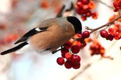 Bullfinch eating apples. Female Bullfinch sitting on tree branch eating frozen wild apples Stock Photo