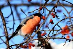 Bullfinch eating apples. Bullfinch sitting on tree branch eating frozen wild apples Royalty Free Stock Images