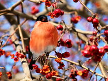 Bullfinch eating apples. Male Bullfinch sitting on tree branch eating frozen wild apples Royalty Free Stock Photography
