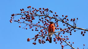 Bullfinch eating apples against blue sky Stock Images