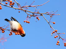 Bullfinch eating apples against blue sky Stock Photography