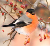 Bullfinch eating apples Stock Image