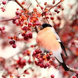 Bullfinch eating apples Stock Photography