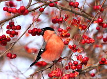 Bullfinch eating apples Royalty Free Stock Images